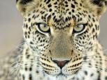 """豹的""""凝视"""""""