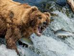 棕熊坐等鲑鱼入口乐享美食